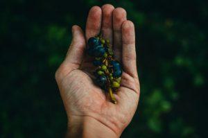superzywnosc-winogrona.jpg