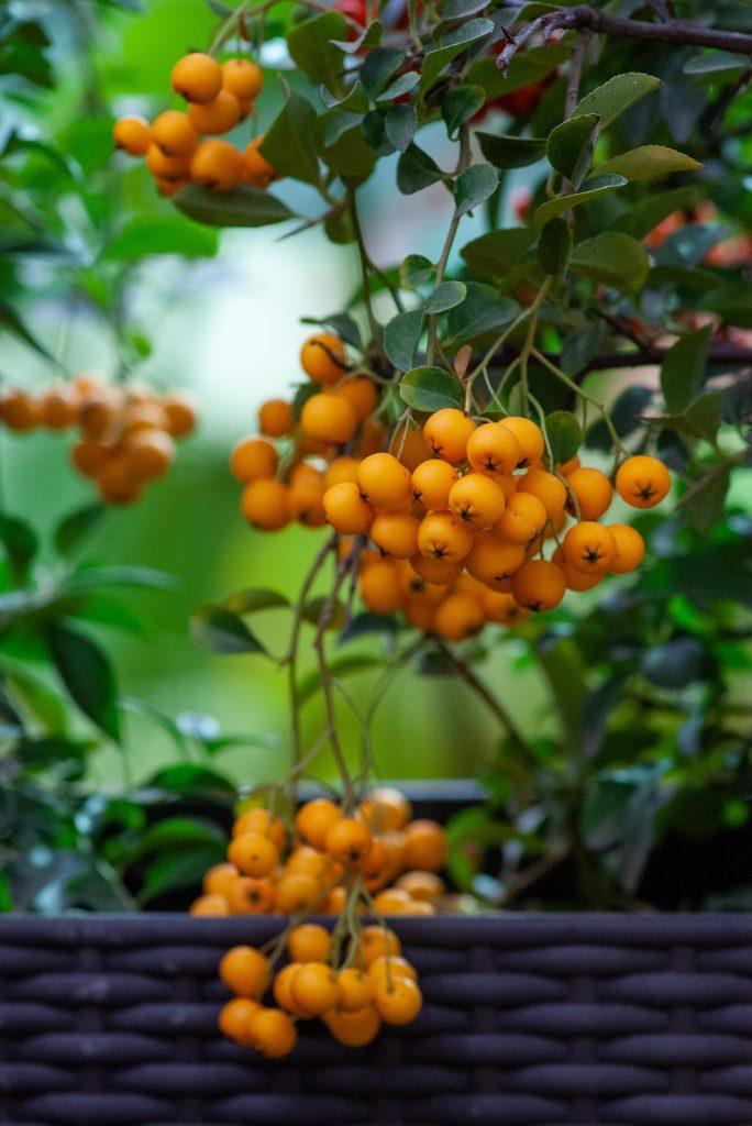 rokitnik owoc